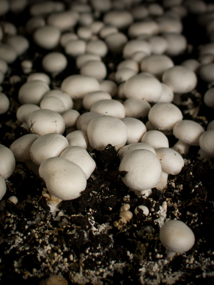 Baby mushrooms