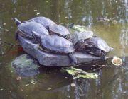 tartarughe - I