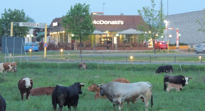 vacche L