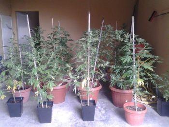 Per arrotondare la pensione si mette a coltivare 50 piantine di marijuana nell'orto. Italiano di Isolabona nei guai