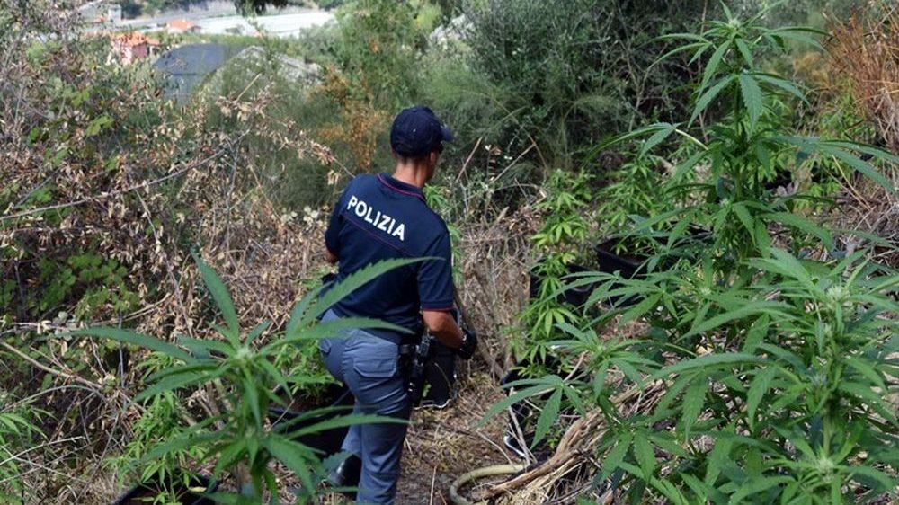 Ventimiglia. Blitz della Polizia di Stato. Individuata maxi piantagione di marijuana.