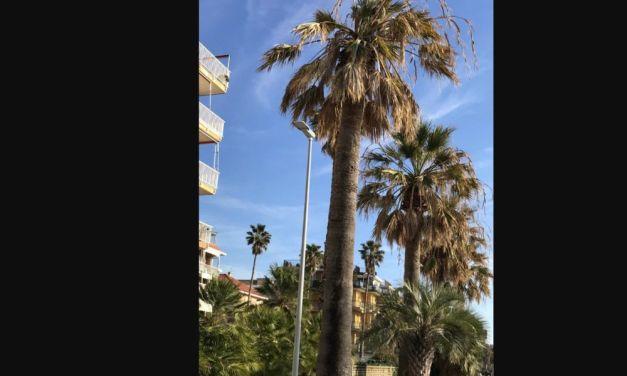 Nuove palme sulla passeggiata a mare di San Bartolomeo