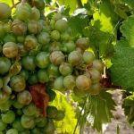 nel Tortonese Il temporale di venerdì ha provocato gravi danni ai raccolti, specie all'uva. Il bilancio della Cia