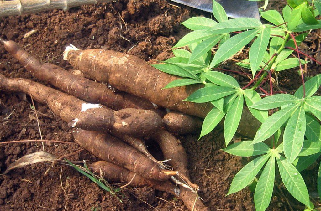 Turning Cassava Waste to Wealth