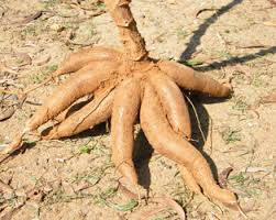 Nigeria to Benefit from N7.6bn Cassava Grant