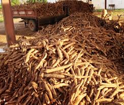 Importance of Cassava to Humanity