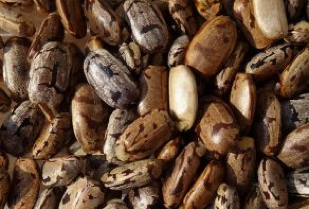 Cassava Seeds to Replace Stem Cuttings in Nigeria Soon