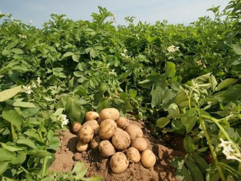 Types And Uses of Potatoes