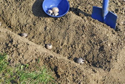 Seedbed Preparation for Potatoes