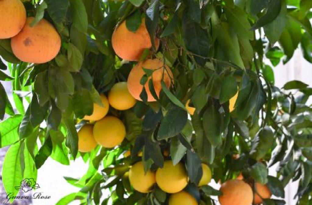 How To Grow Grapefruits