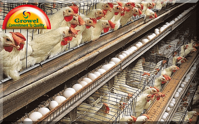 Marketing For Layer Poultry Farming