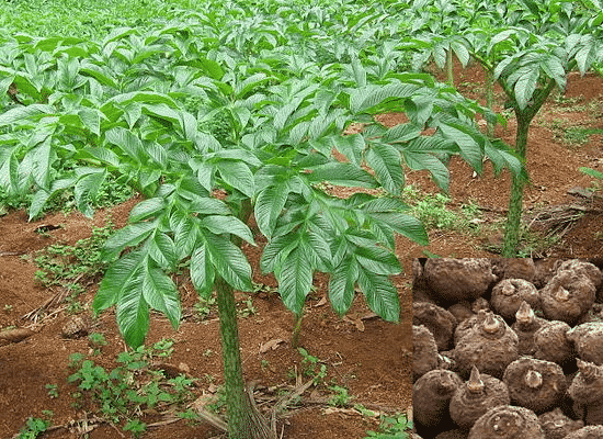 How to Start Yam Farming in Nigeria (Beginners Guide)
