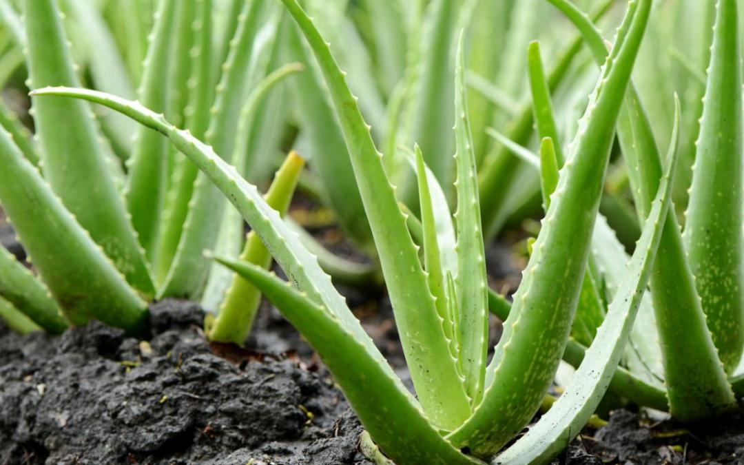 What are the Benefits of Aloe Vera?