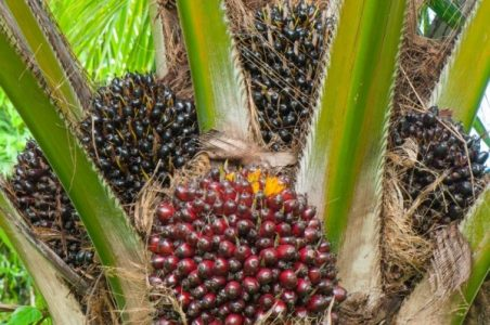 Modern Oil Palm Cultivation (Part Three)