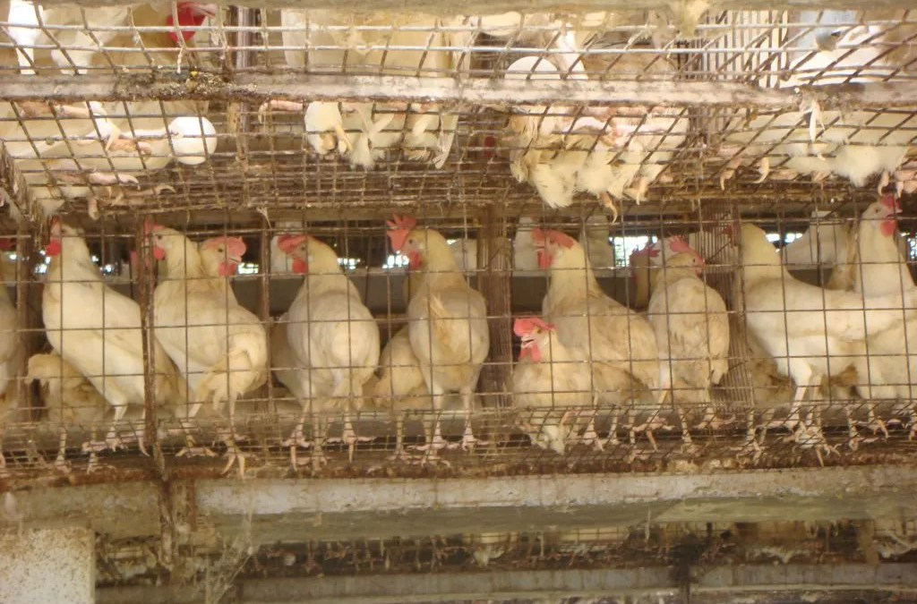 7 Key Benefits of Using Poultry Battery Cages in Modern Day Chicken Rearing