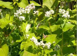 Buckwheat Benefits Nature