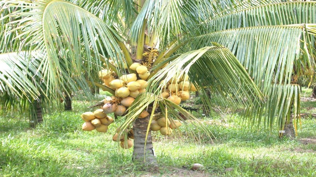 How To Start Coconut Plantation Business In Nigeria: Detailed Guide