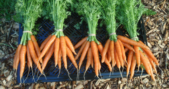 How to cultivate carrots