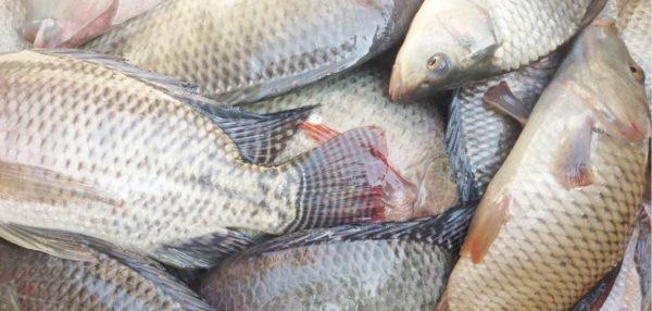 Guidance to Tilapia Fish Farming
