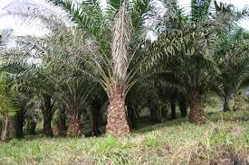 Oil Palm Production
