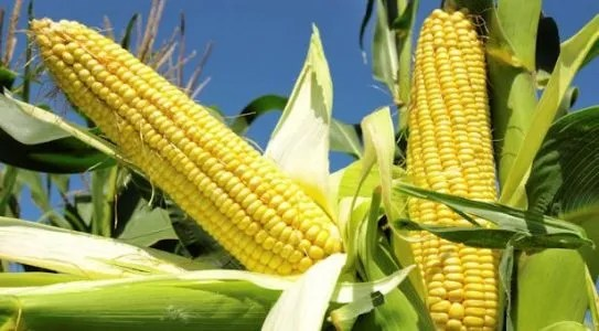 Five important practices in Maize farming.