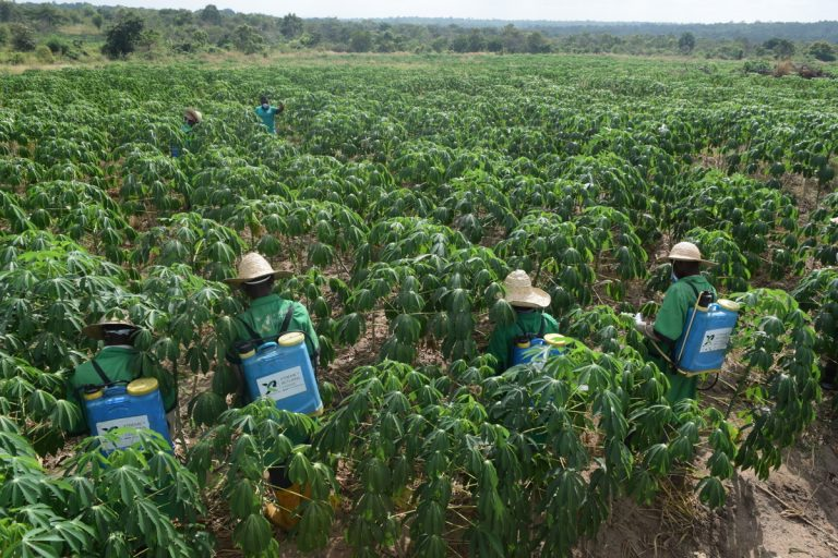 All You Need to Know About Cassava Farming