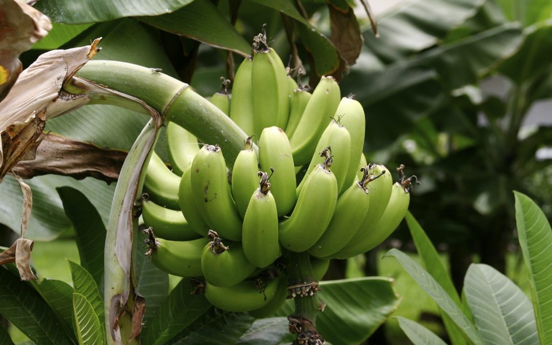 Do you Know Plantain and Banana Farming Can Make You Millions?