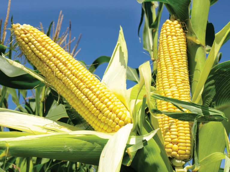 Weed Control – Managing Your Maize Farm