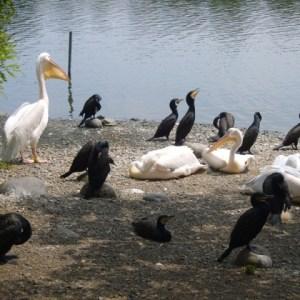 Pélicans et Cormorans - Ueno