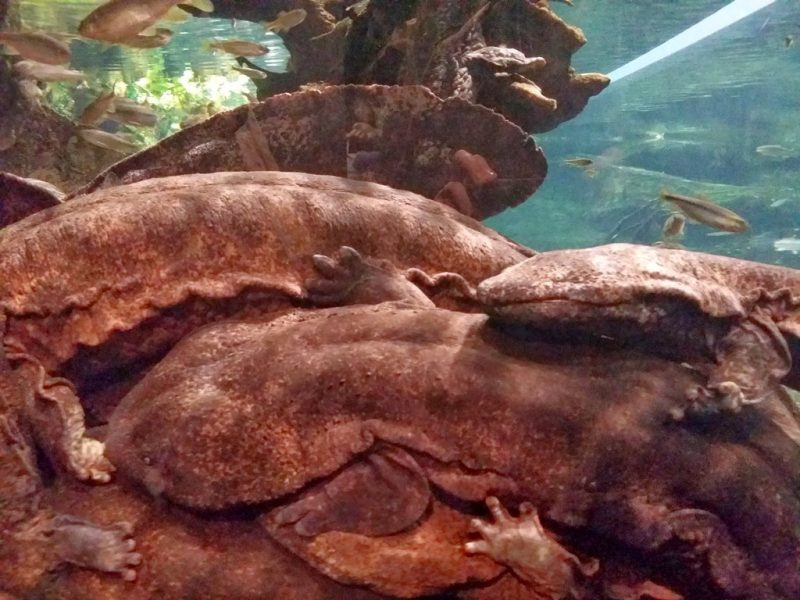 Salamandre Geante du Japon - 1