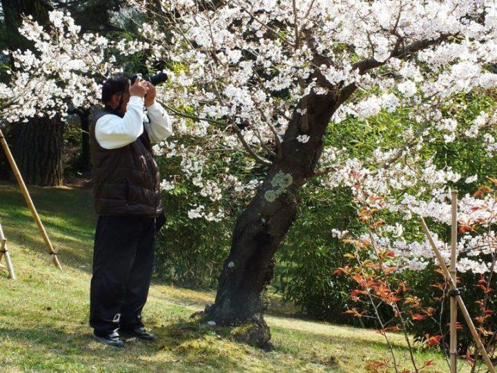Cerisiers au Parc Ritsurin - 2015 - 10