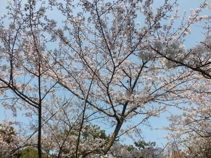 Cerisiers au Parc Ritsurin - 2015 - 7