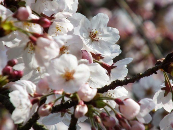 Cerisiers au Parc Ritsurin - 2015 - 9