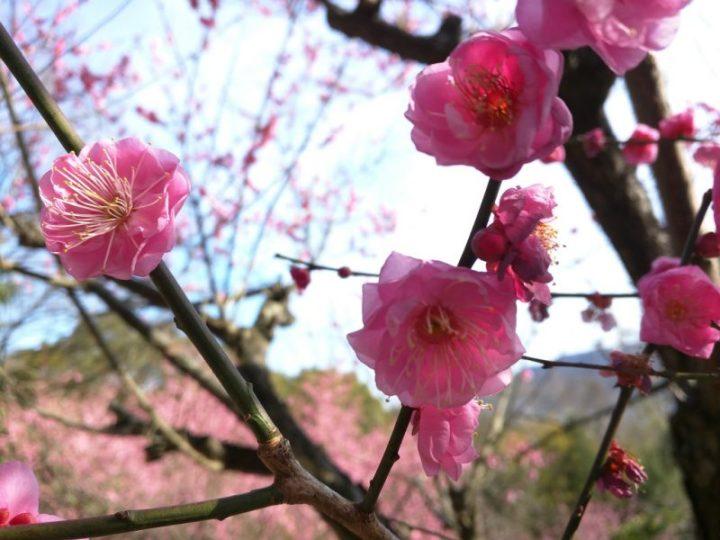 Le printemps arrive - Pruniers - Shikoku Mura - 6