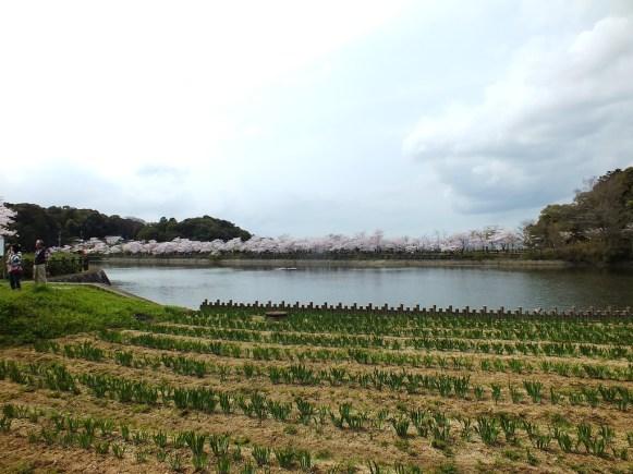 Cerisiers au Parc Kikaku 2017 - 10