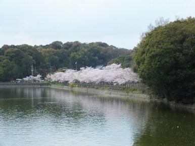 Cerisiers au Parc Kikaku 2017 - 13