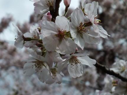 Cerisiers au Parc Kikaku 2017 - 20
