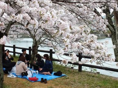Cerisiers au Parc Kikaku 2017 - 26