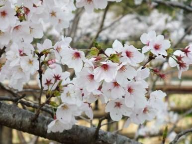 Cerisiers au Parc Kikaku 2017 - 5