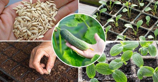 Как посеять огурцы на рассаду: пошаговый мастер-класс | На ...