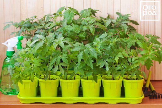 Seedling Tomatov