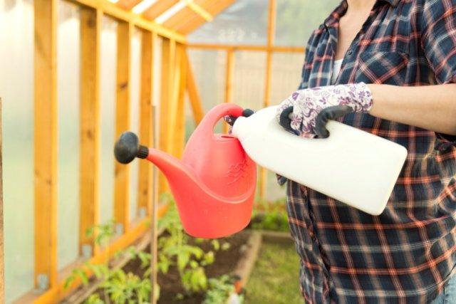 Riego de plántulas de tomate