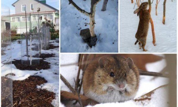 Как защитить яблони от мышей и зайцев зимой В саду