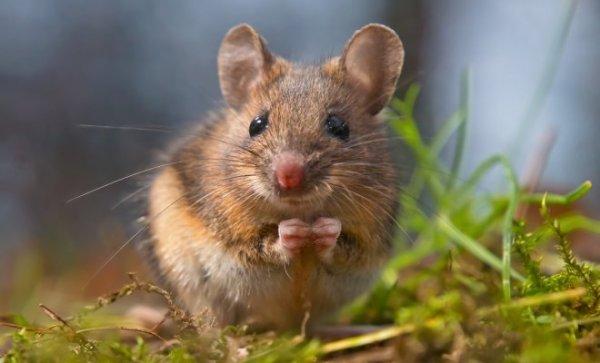 14 растений которые помогут прогнать мышей с вашего