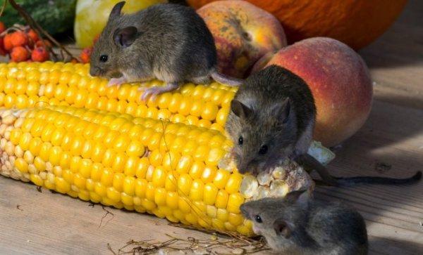 Как избавиться от мышей в доме и на садовом участке Дела