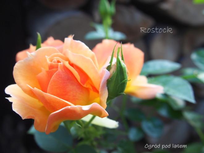 Więcej o tej pięknej róży przeczytasz tutaj.