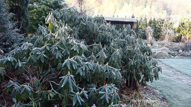 Zmrożony rododendron