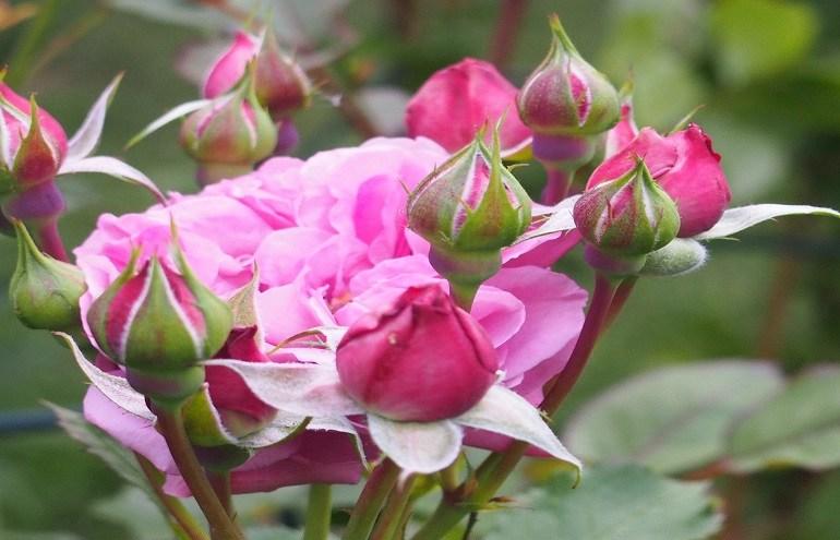 Róża Heidi Klum