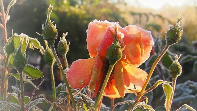 Róża Lambada jesienią