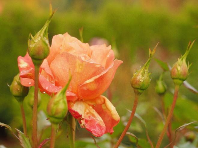 Róża Lambada